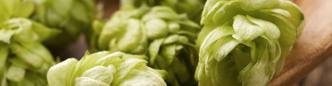 El lúpulo, un ingrediente muy Cervecista
