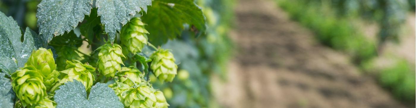 El lúpulo, un ingrediente muy Cervecista. El cultivo (II)