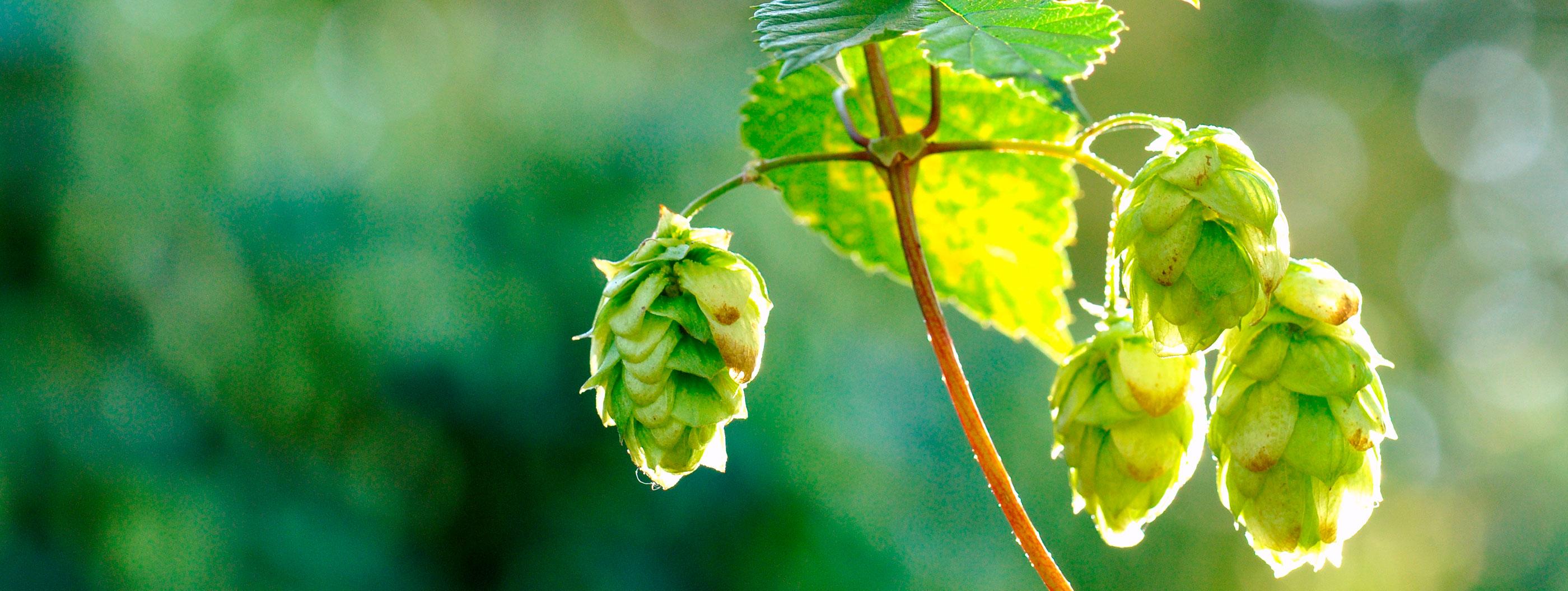 Los lúpulos «nobles» de la cerveza